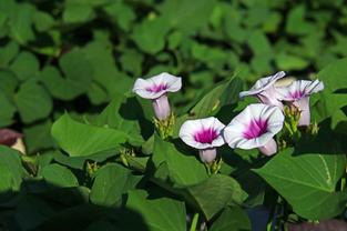 행운의 고구마 꽃